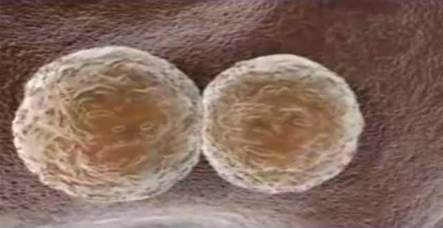 Celulas madre para crear dientes