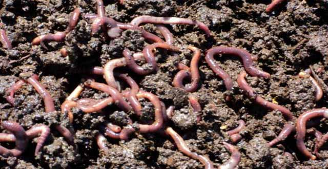 fertilizante de lombrices